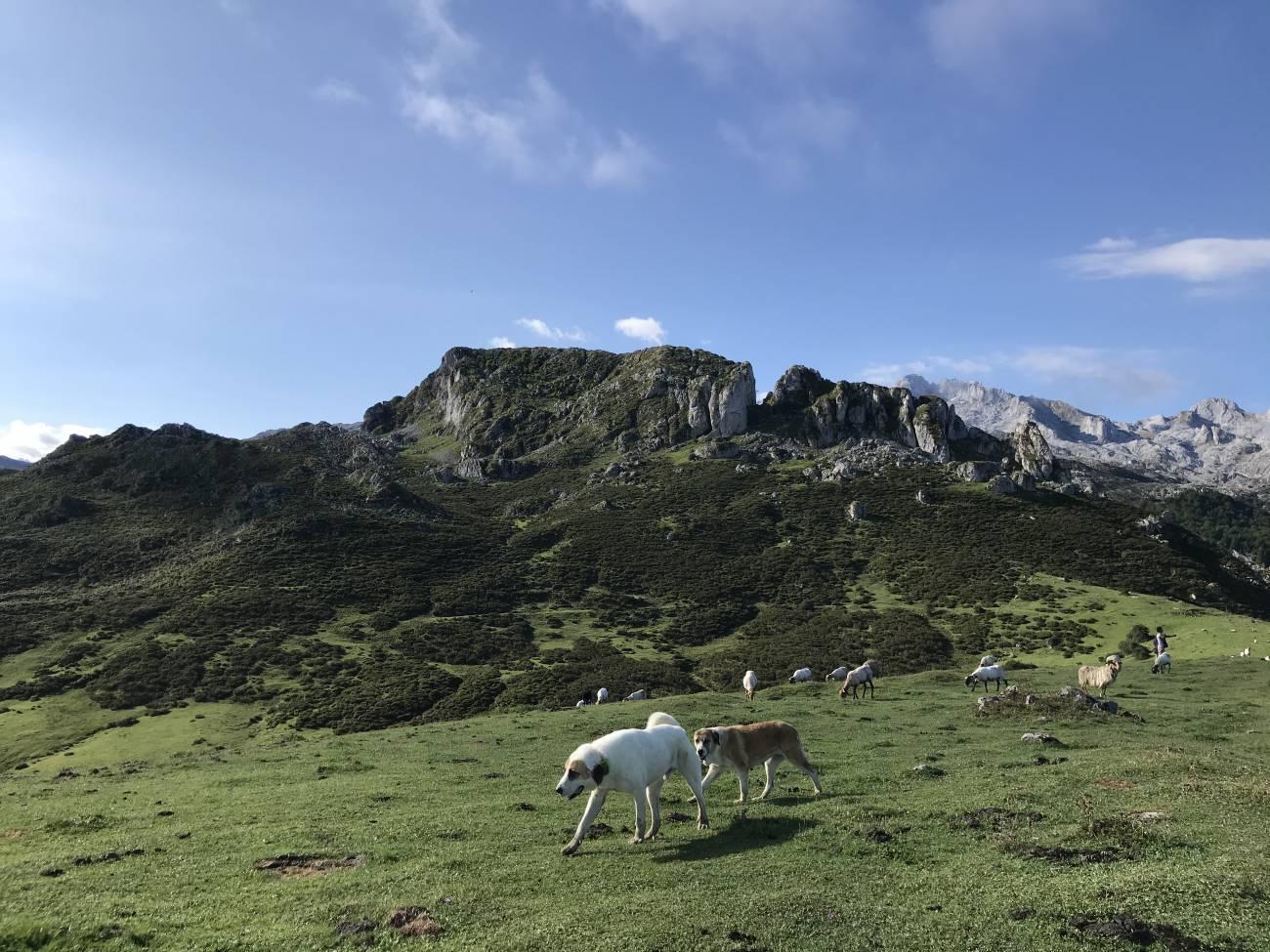 Perros guardianes en Asturias. / Hanna Petter