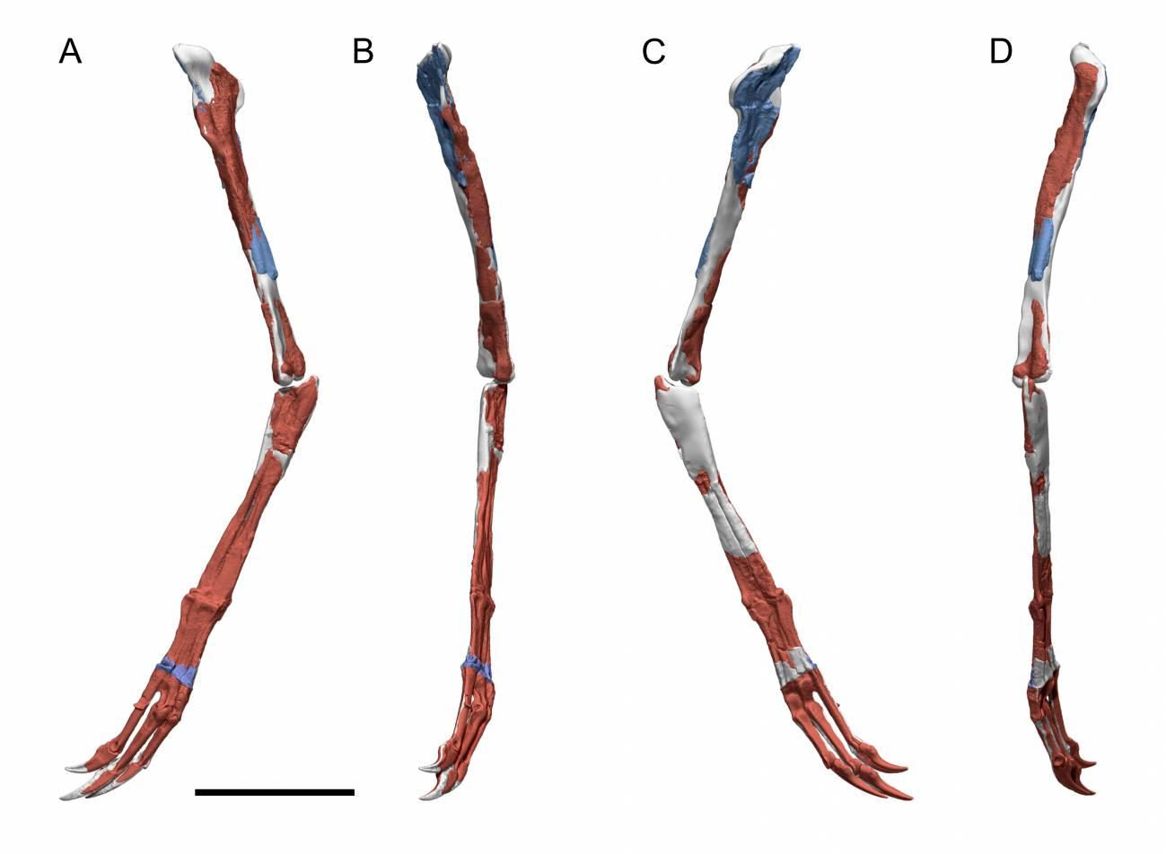 Reconstrucción en 3D del brazo de Pelecanimimus a partir de la fotogrametría realizada en el fósil.
