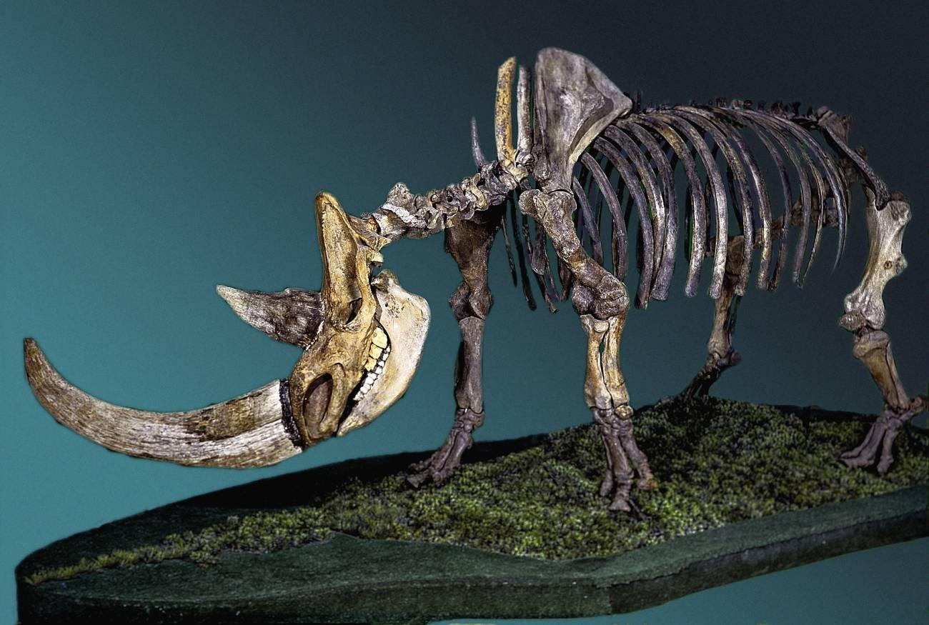 Esqueleto de rinoceronte lanudo. / Fedor Shidlovskiy
