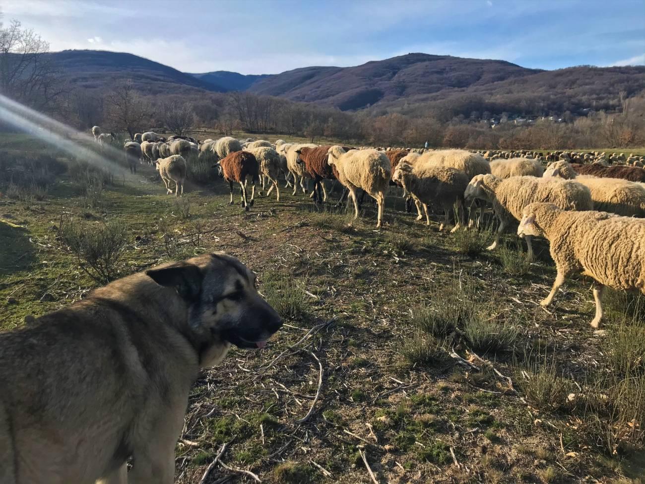 Perros guardianes de ganado trabajando en Sanabria. / Hanna Petter