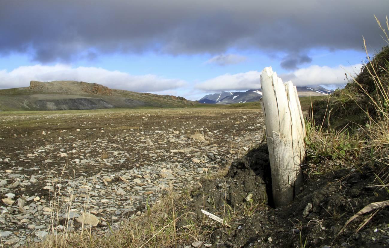 Colmillo de mamut lanudo emergiendo del permafrost en la isla central de Wrangel, situada en el noreste de Siberia. / Love Dalén