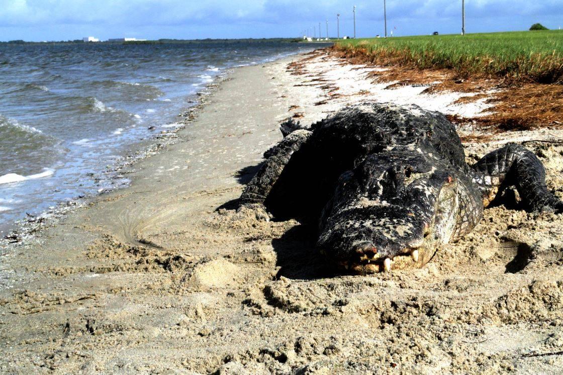 Aligátor americano en una playa