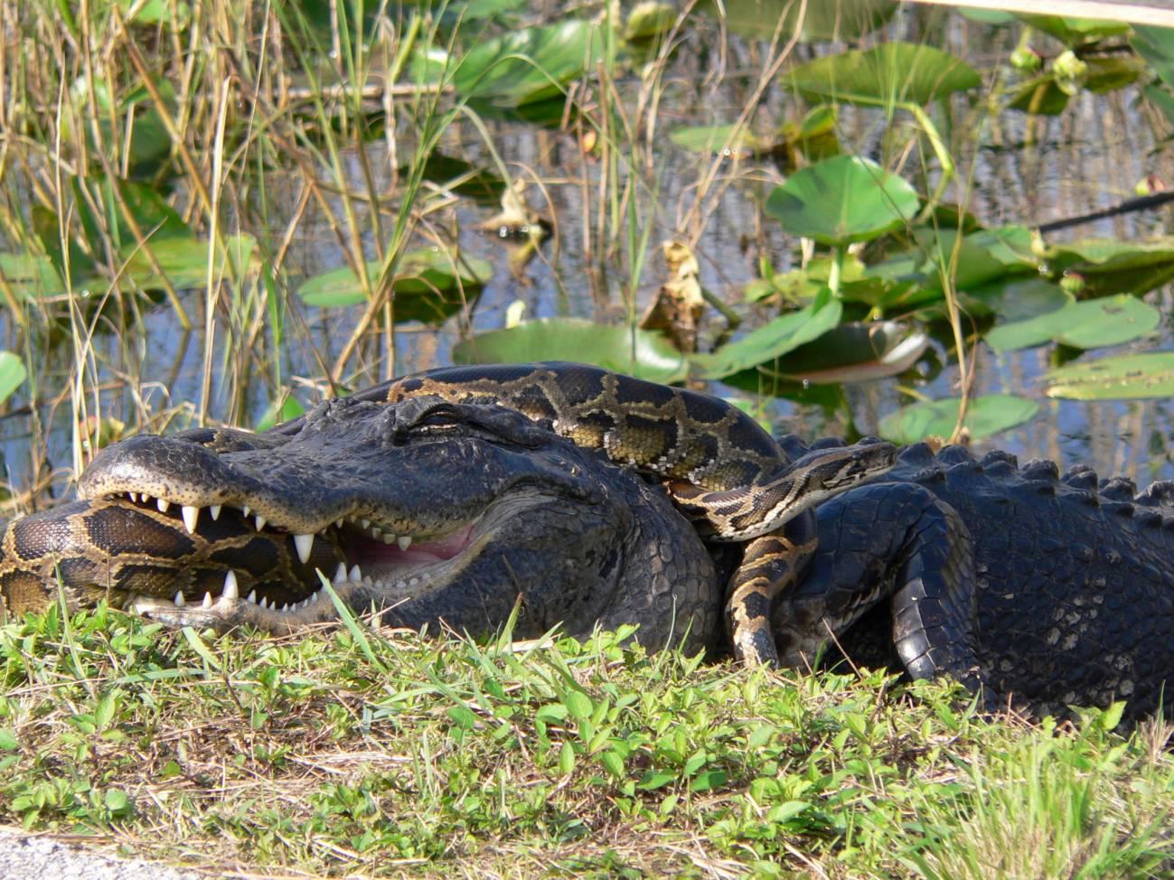 Aligátor americano y pitón de Birmania