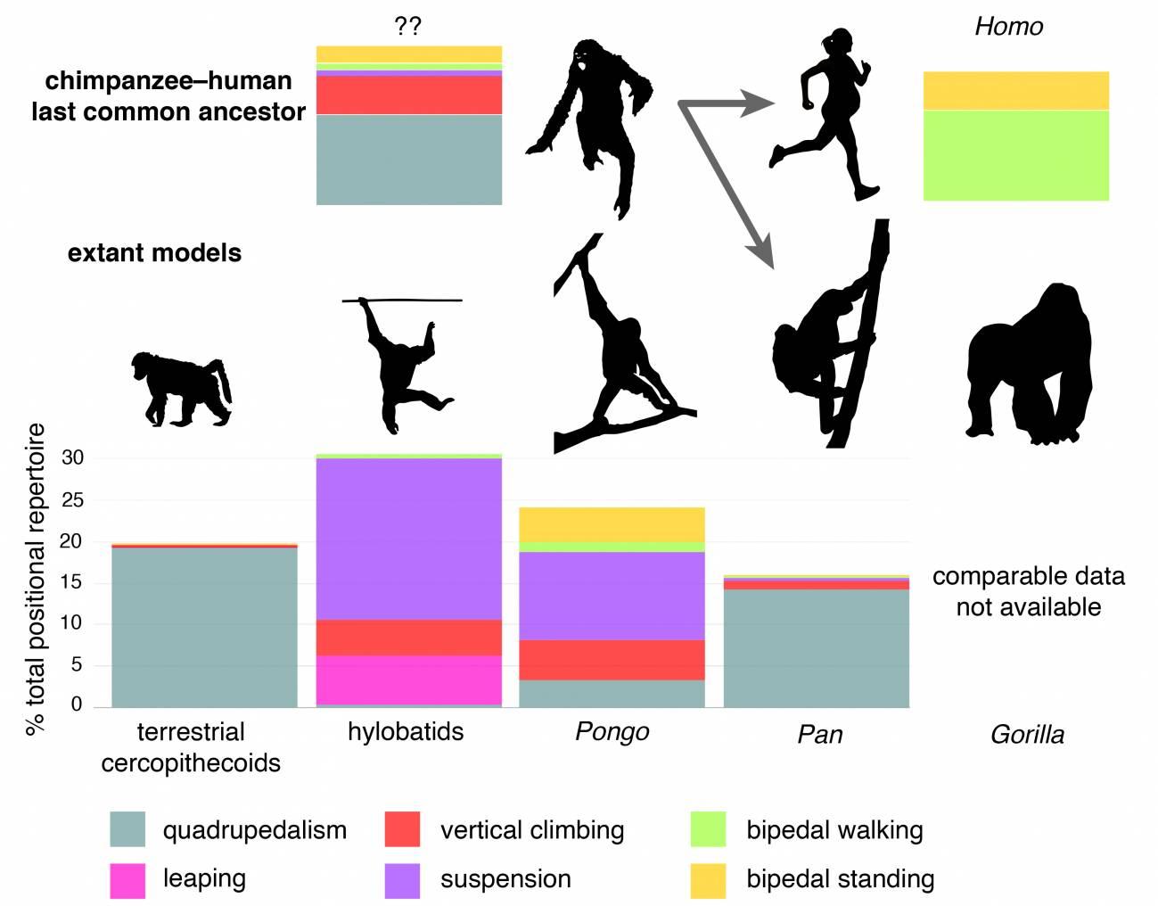 Se desconoce la variedad de posiciones que precede al bipedismo humano. / © Sergio Almécija
