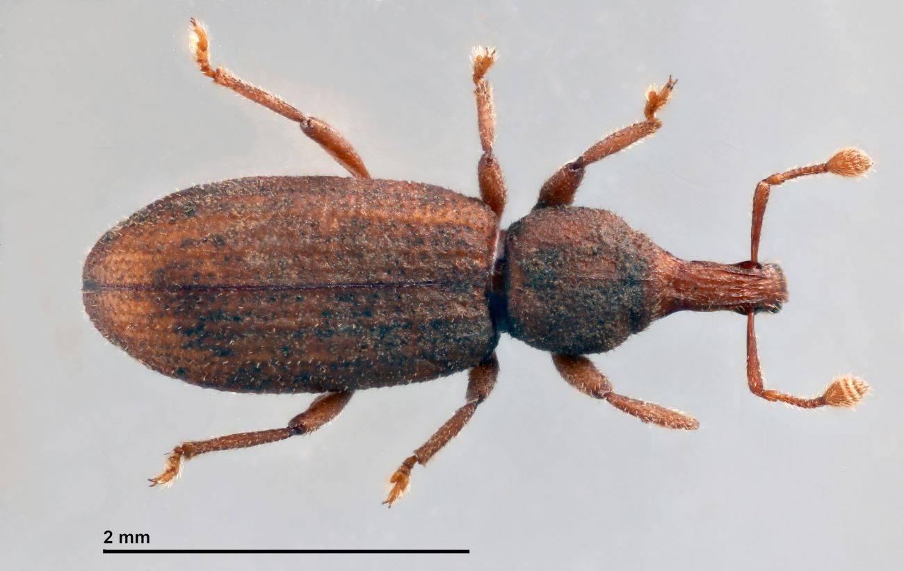 La especie 'Baezia tizziri'. / A. Machado
