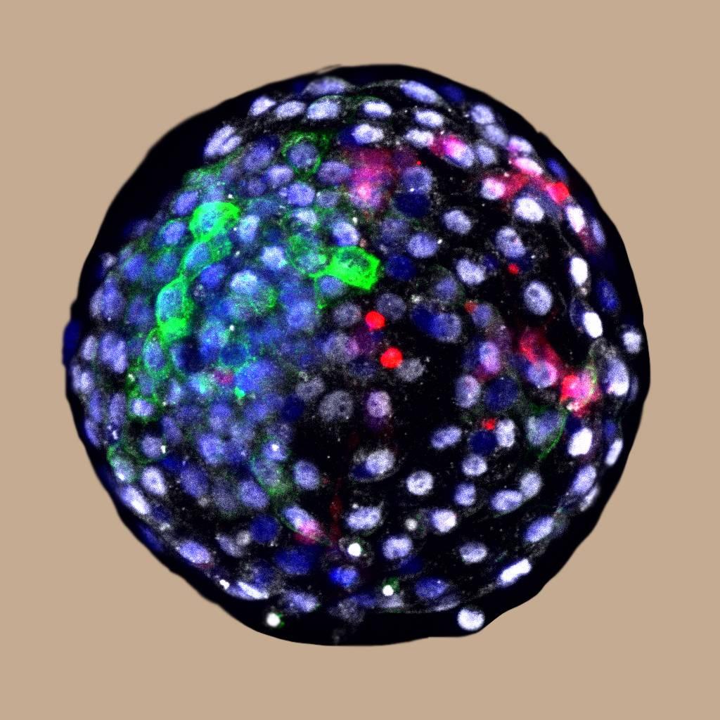 Blastocisto de quimera - Científicos de China y USA inyectan  células madre humanas en embriones de primates generando embriones quiméricos