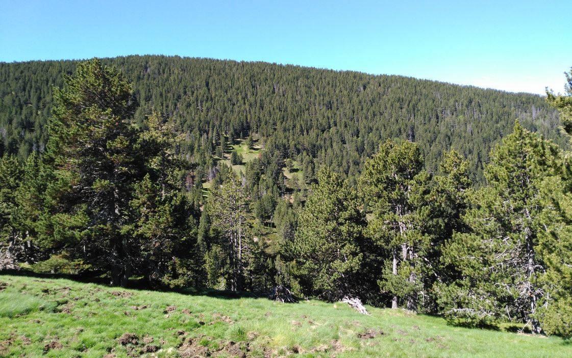 Bosques de pino negro