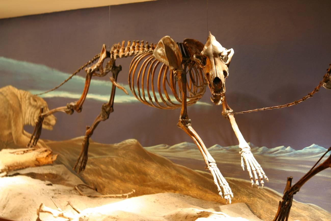 Esqueleto de 'Canis dirus' en el Museo George C. Page. / Wikipedia