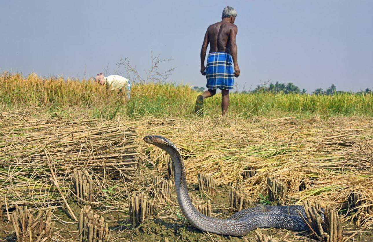 Cobra india - Serpientes desarrollaron su veneno para matar a sus presas, no defenderse