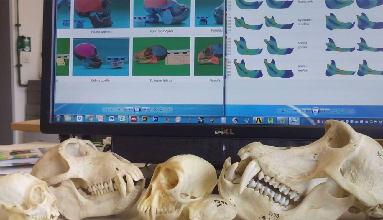 Cráneos de homininos