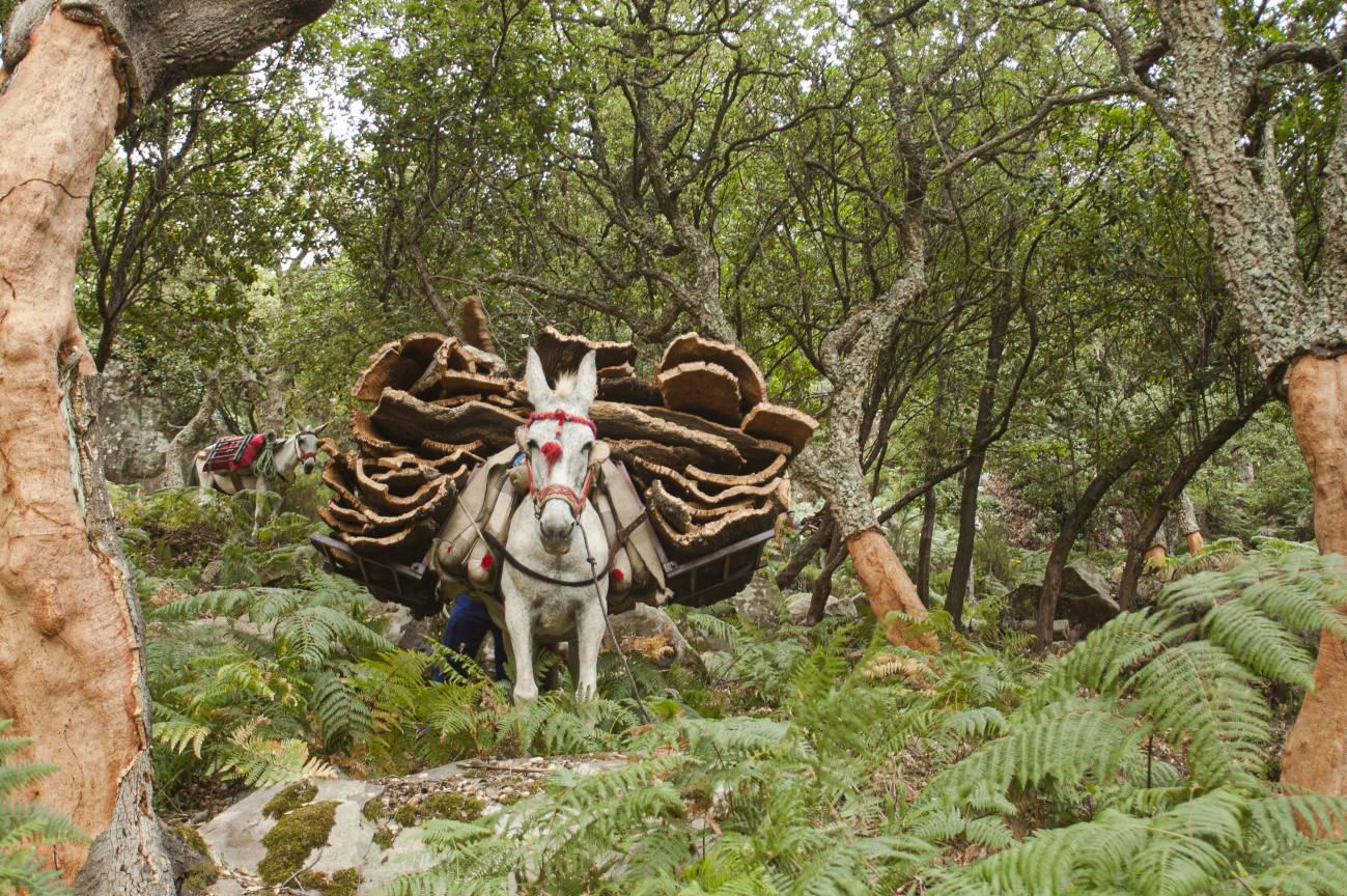 Descorche de alcornoques. / © Herminio M. Muñiz