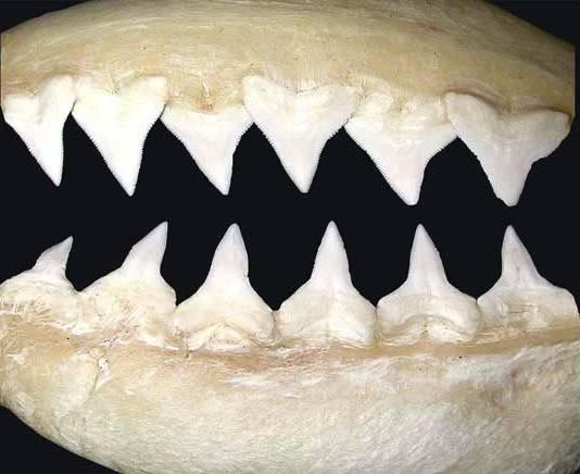 Dientes del tiburón toro