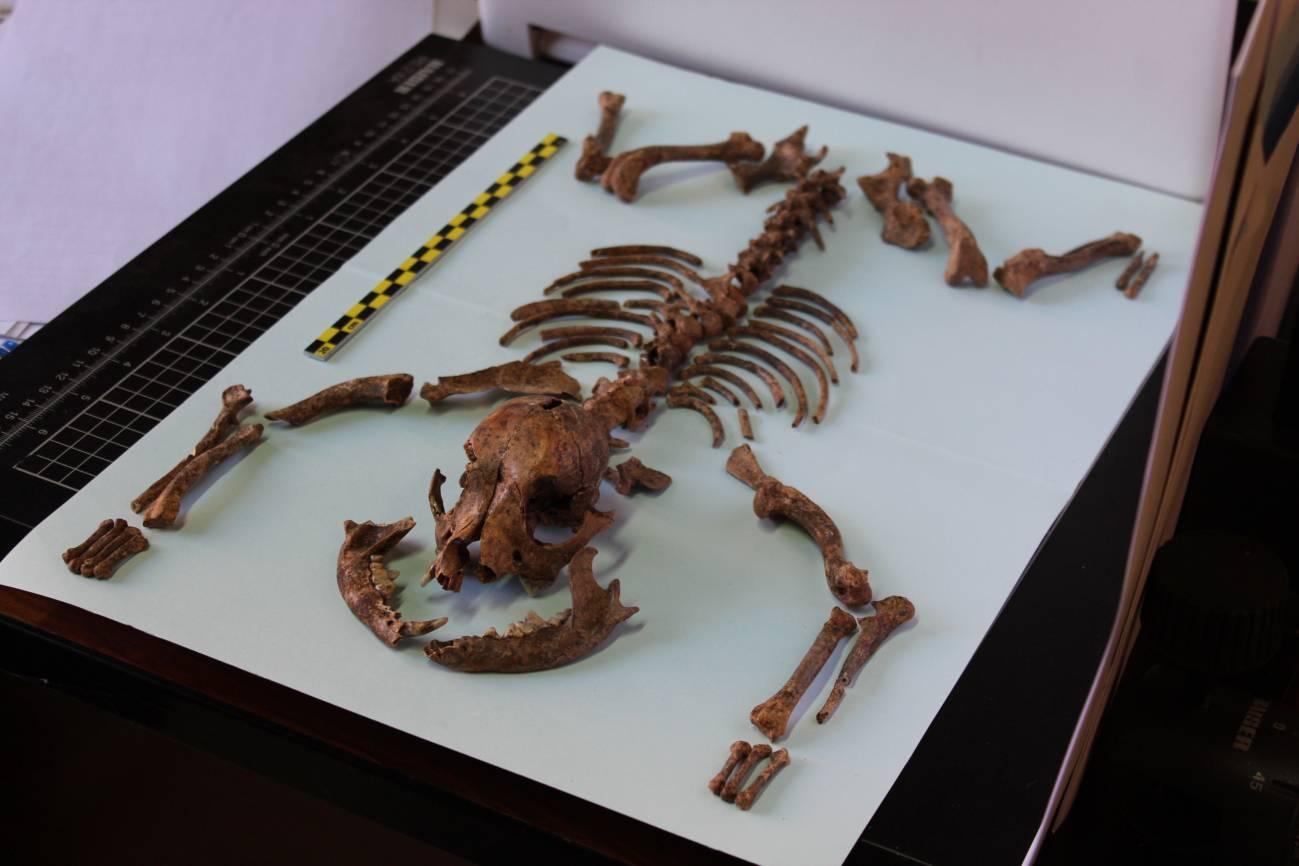 Esqueleto del perro hallado en la necrópolis romana