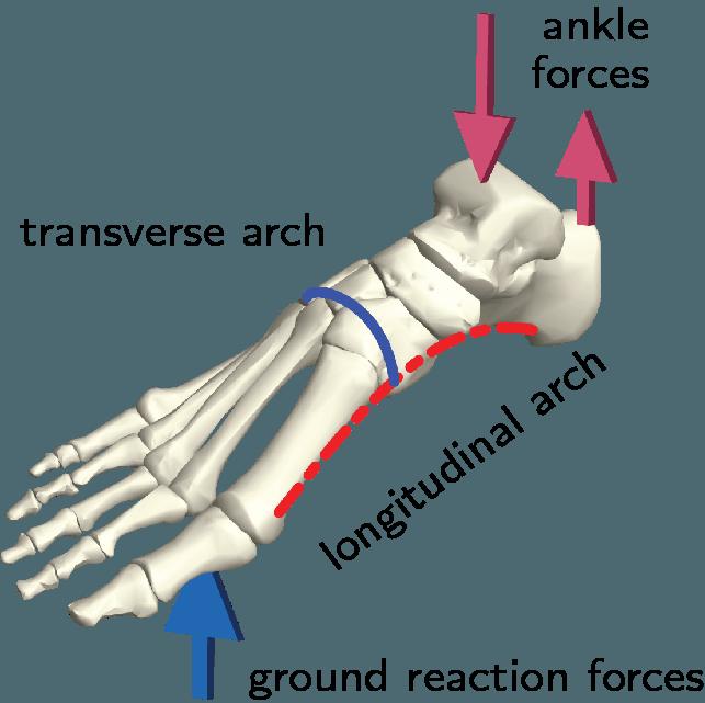 Esquema del esqueleto del pie