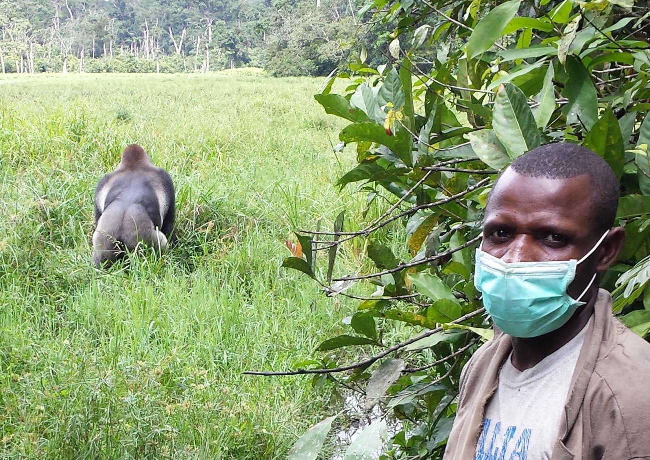 Gorila - ¿ Que pasaría si los animales salvajes se contagiaran de coronavirus?