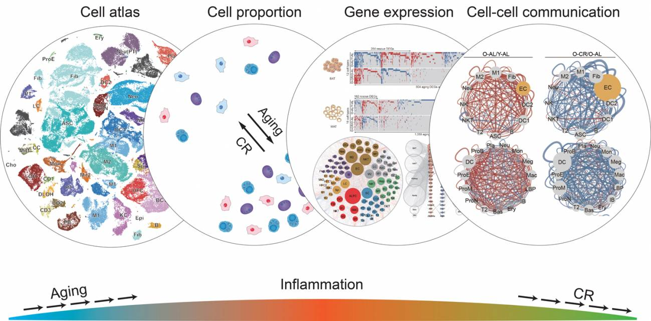 Formas en que la restricción calórica afecta a diversos aspectos de la función celular, reduciendo la inflamación y la actividad de muchos genes relacionados con el envejecimiento. / Salk Institute