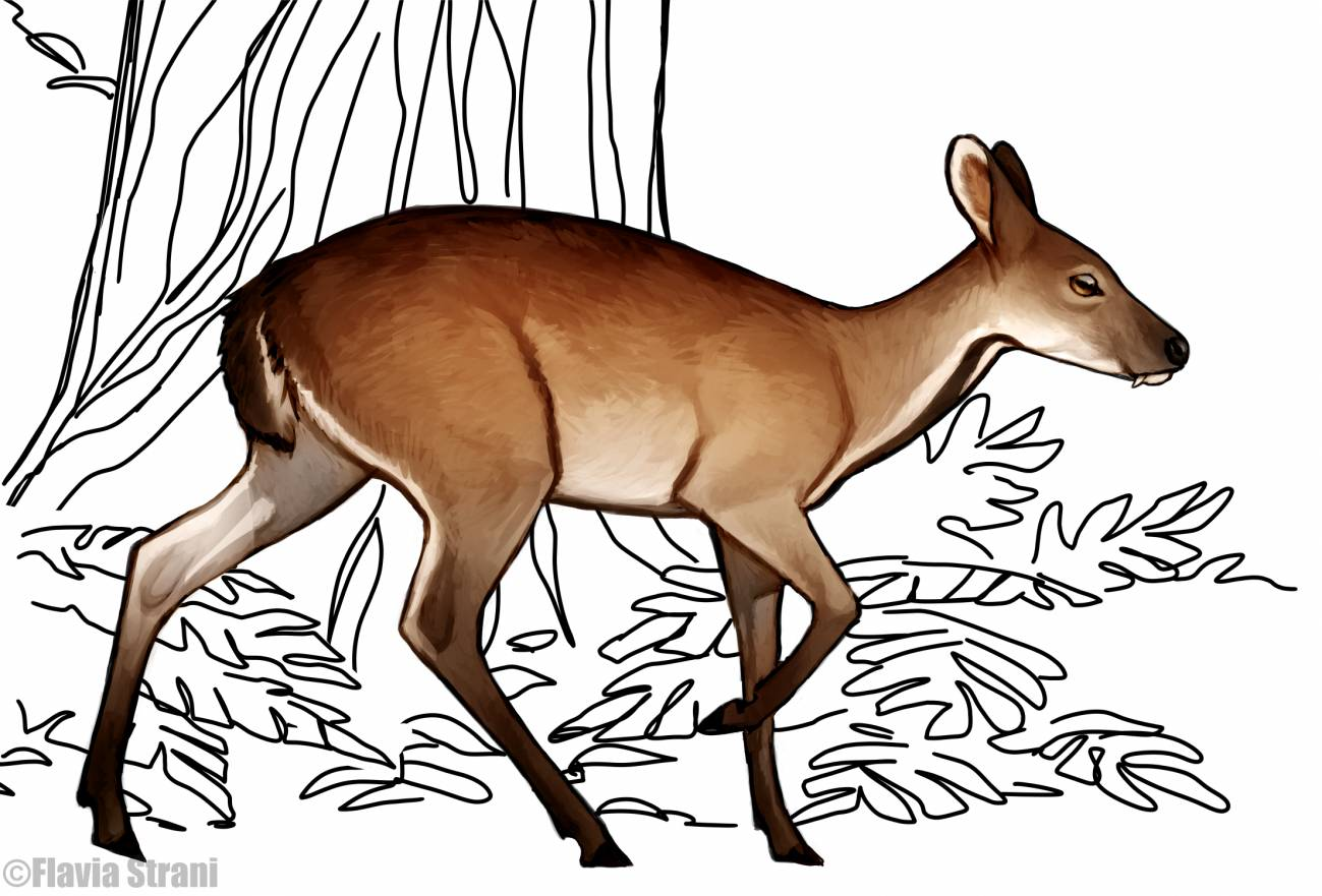 Aspecto en vida de un macho del ciervo almizclero Micromeryx en los bosques de Cataluña. /  Flavia Strani