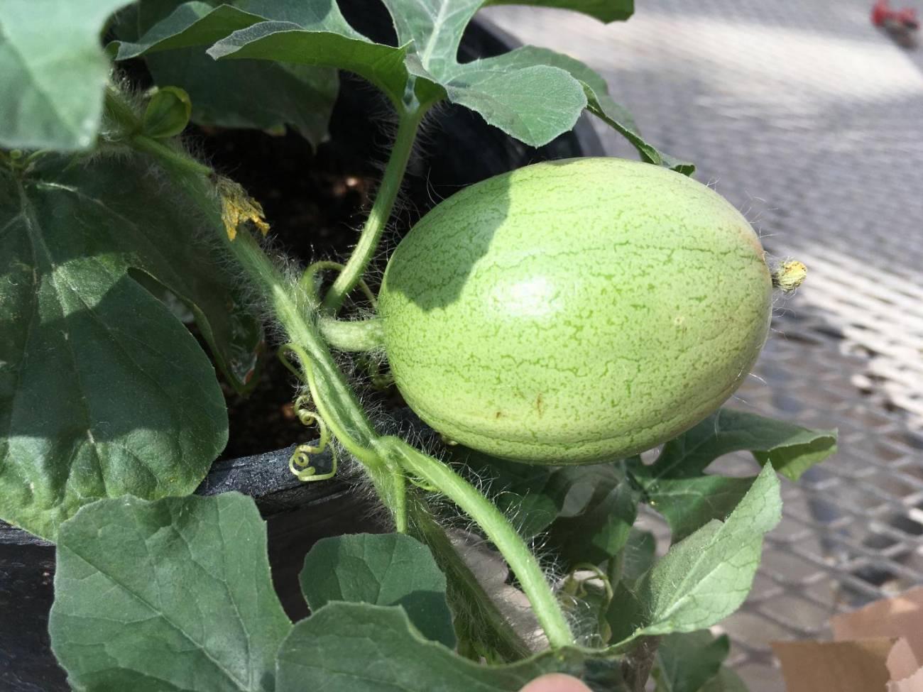 Imagen de un melón Kordofán. / Shan Wu