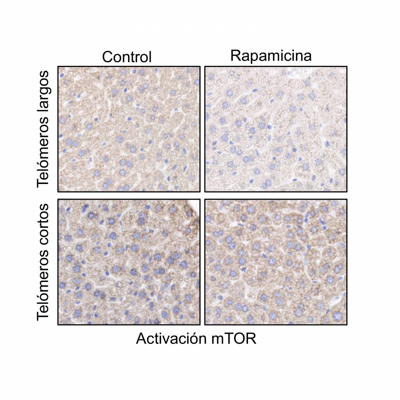 La rapamicina inhibe la actividad de mTOR