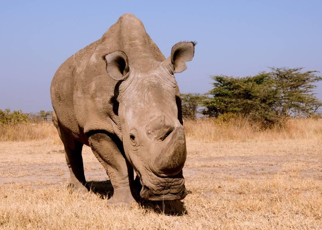 Sudan, el último macho de rinoceronte blanco del norte del mundo que murió en 2018./  Helping Rhinos