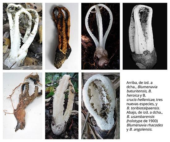 Nuevas especies de hongos