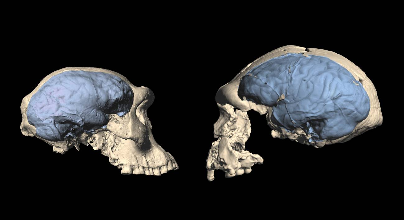 Comparativa de cráneos de Homo primitivo de Dmanisi y otro espécimen de Sangiran, Indonesia. / Marcia Ponce de León et al.
