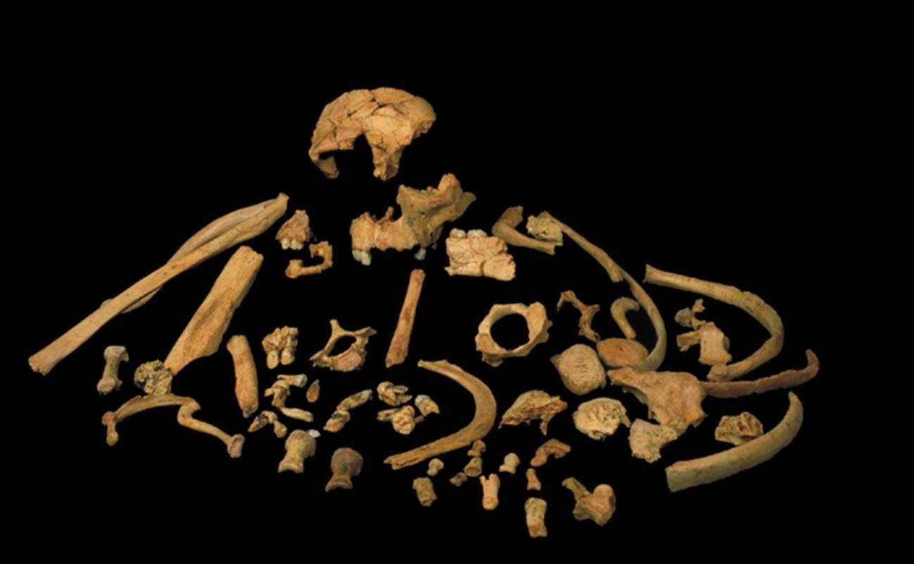 Restos fósiles de Homo antecessor