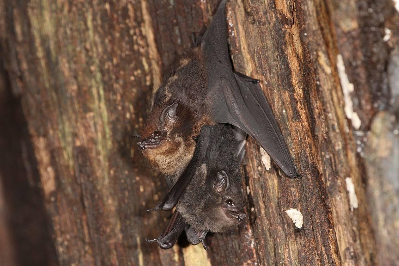 Madre y cría de la especie de murciélago neotropical Saccopteryx bilineata en un dormidero diurno. La cría está pegada al vientre de la madre. / Michael Stifter