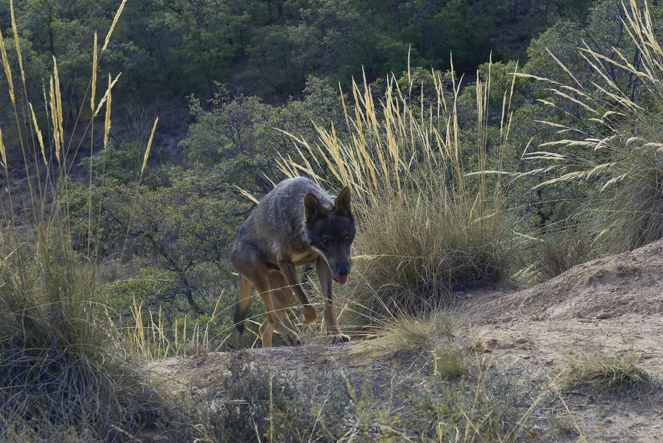 Sendero del lobo ibérico. / Ángel M. Sánchez (Censo Lobo Ibérico)