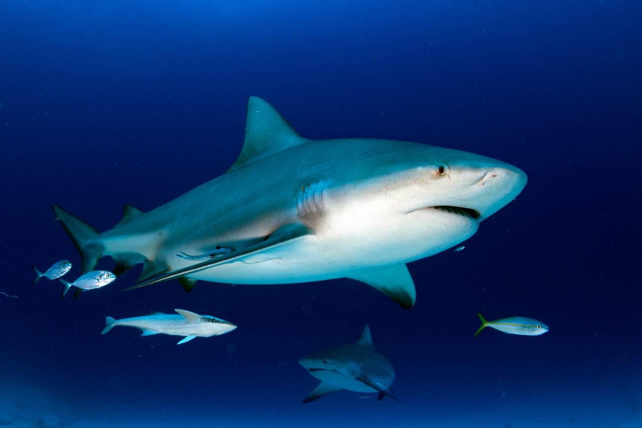 Tiburón toro o sarda