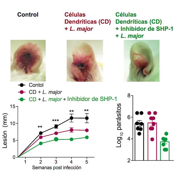 Vacunación de ratones con células dendríticas