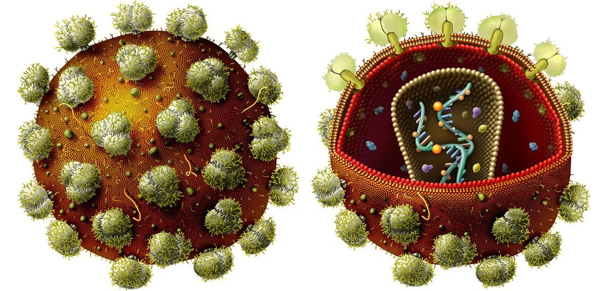 Ilustración que forma parte del material de divulgación. Virus de inmunodeficiencia humana (VIH) que causa el SIDA. / Angie Fox (Museo Estatal de la Universidad de Nebraska)