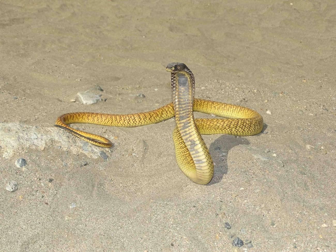 Imagen de Naja arabica, cobra endémica de Arabia Saudita, que se separó por vicarianza de su especie hermana Naja haje de África./  Salvador Carranza