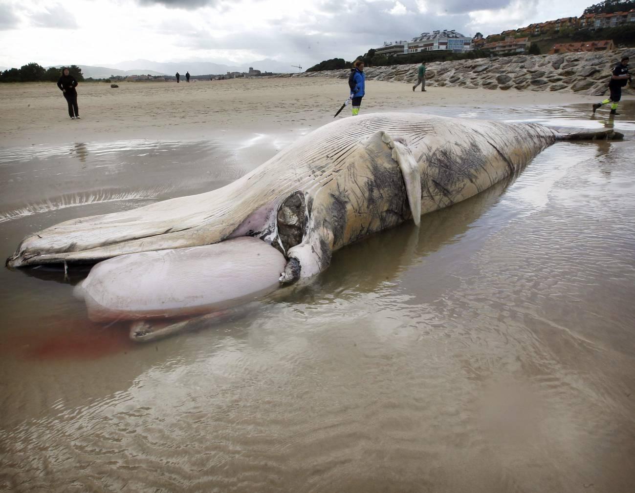 Vista de la ballena de entre doce y catorce metros de longitud, que ha aparecido muerta en la playa del Merón, en el municipio cántabro de San Vicente de la Barquera.