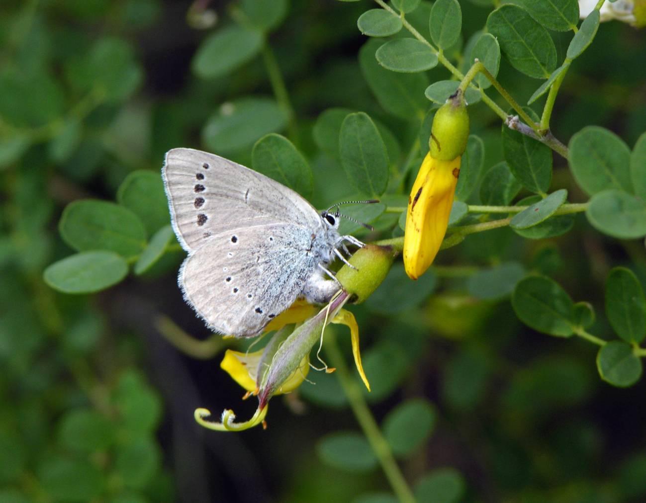 En la imagen, una mariposa Iolana iolas ovopositando en su planta huésped Colutea hispanica.