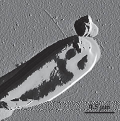 En la imagen, Bifidobacterium bifidus. / PNAS