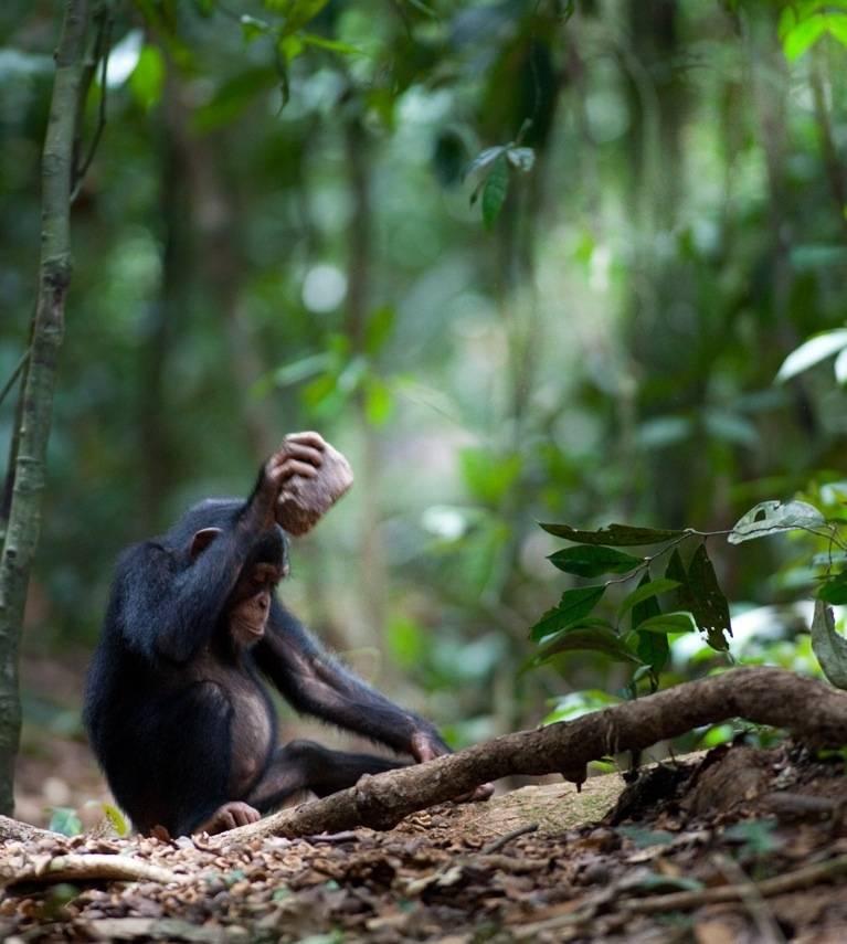 Un chimpancé (Pan troglodytes) rompiendo nueces. Imagen: Luncz et al. Current Biology