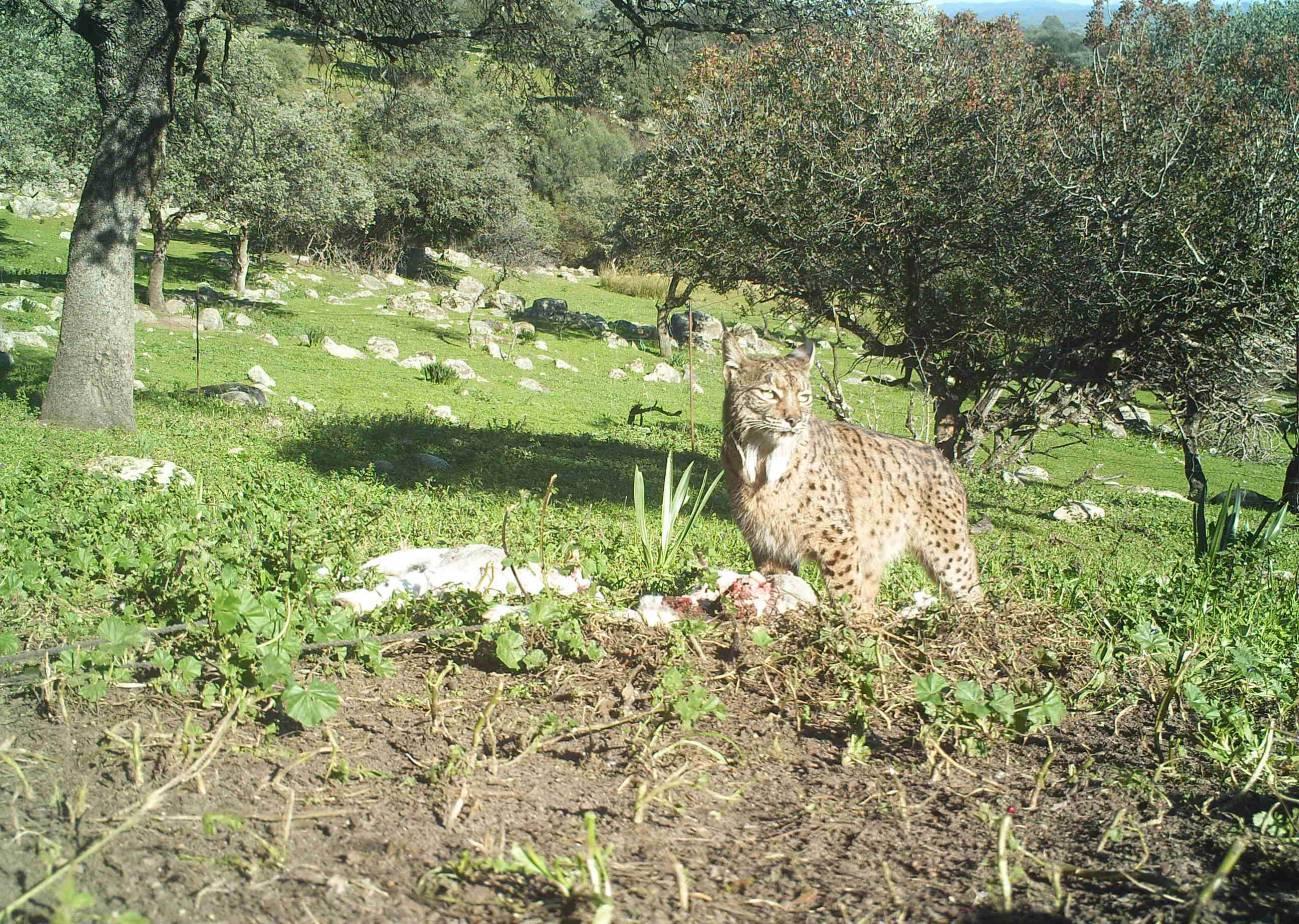 """Un lince ibérico (Lynx pardinus) apodado """"Felix"""", junto a los restos de un cordero. / German Garrote"""