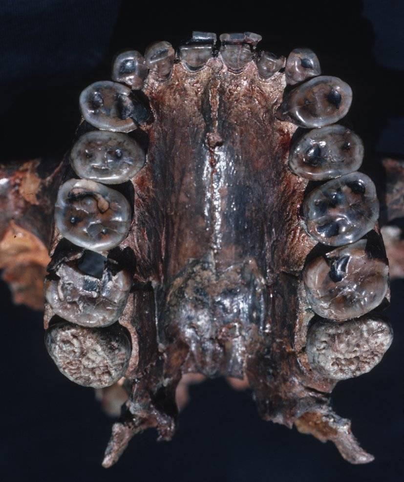 Dentadura del Paranthropus boisei. / Donald C. Johanson