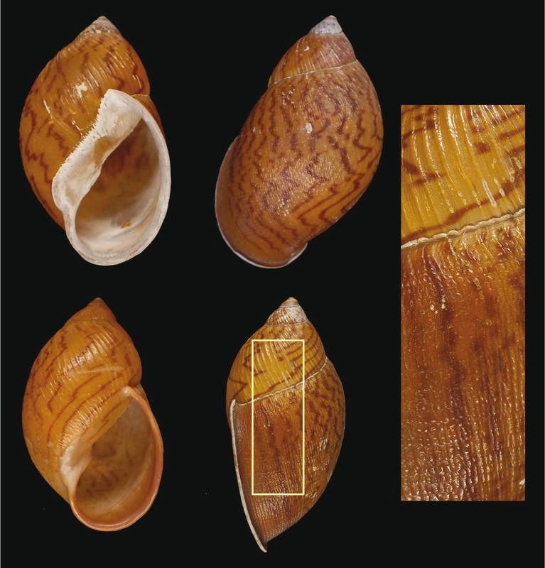 El ejemplar de la especie descrita, Plekocheilus cecepeus. / Servicio Fotográfico del MNCN
