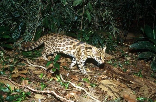 Nueva especie de felino identificada en el sur de Brasil como Leopardus guttulus./ Tadeu Oliveira, proyecto Gatos do Mato – Brasil.