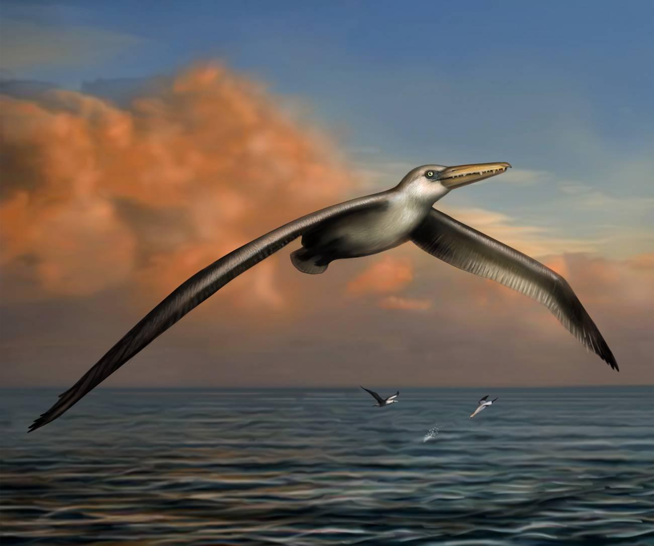 Dibujo de Pelagornis sandersi, el ave voladora más grande hasta la fecha. /Liz Bradford