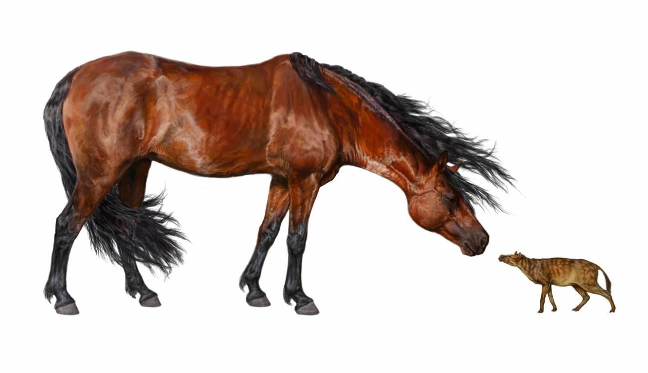 Ilustración de un caballo actual (izquierda) y de un Sifrhippus sandrae del tamaño de un perro pequeño (derecha). Imagen: Daniel Byerley. Museo de Historia Natural de FLorida