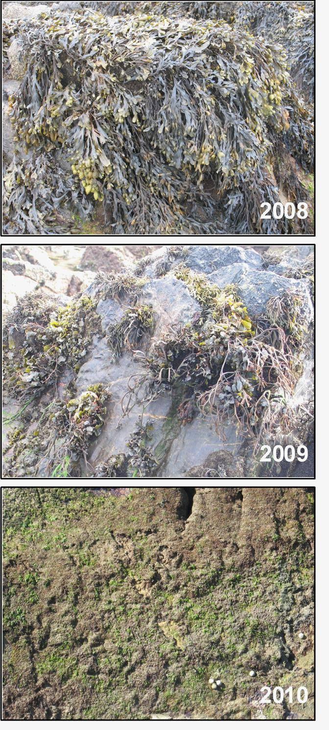 Deterioro de una población de fucus en Asturias. Foto: Chely Fernández.