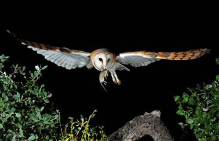 La lechuza común es una de las especies que ostenta mayores declives. Imagen: Iván Corbacho de la Herrán.