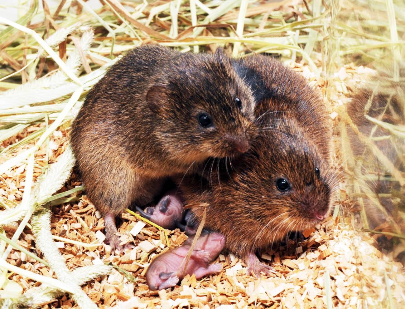 La ratones de campo desarrollan una fuerte preferencia por una pareja después de apareamiento y permanecen juntos para toda la vida. / Zuoxin Wang (Nature)
