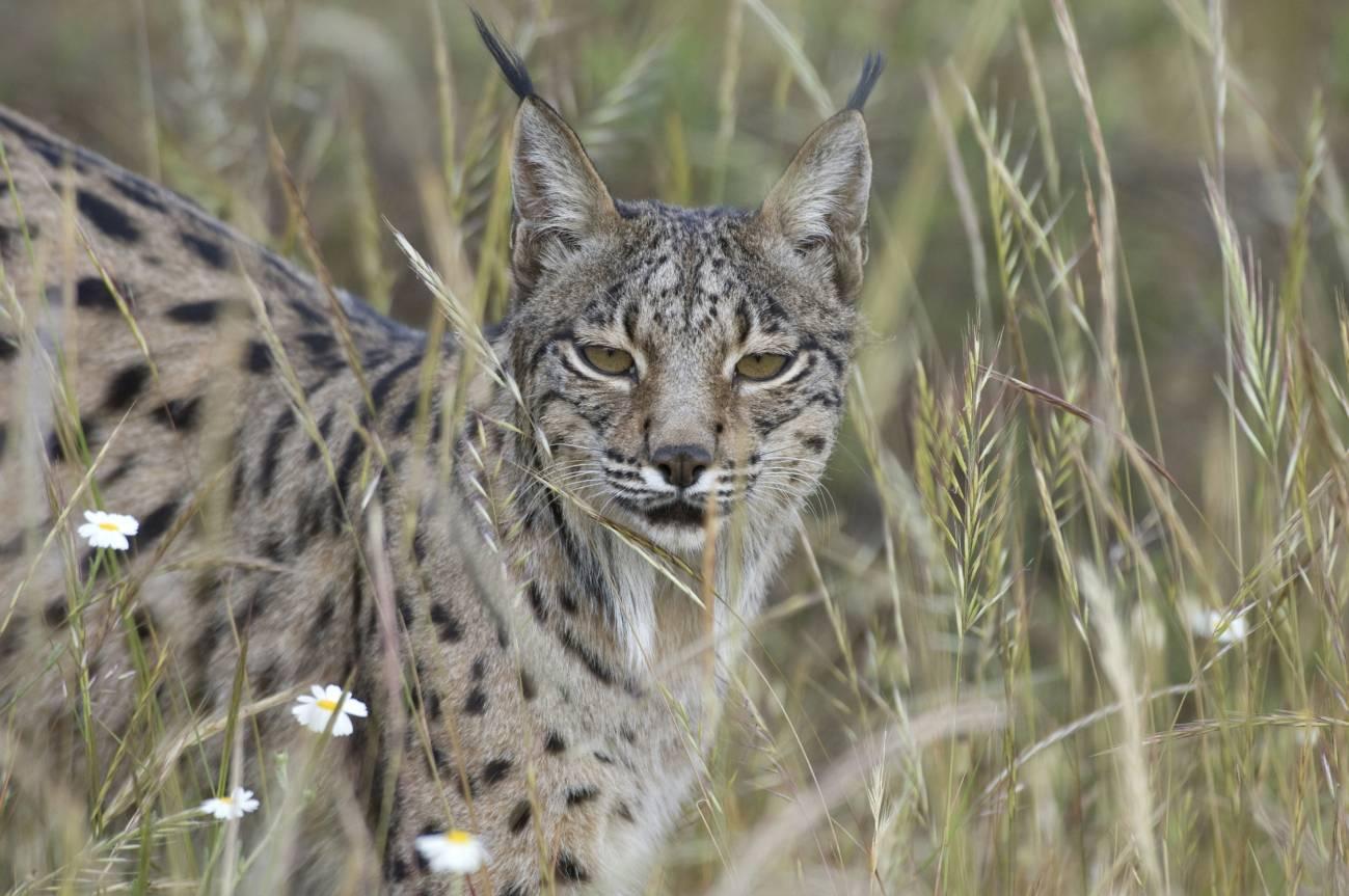 Ejemplar de lince ibérico (Lynx pardinus). Imagen: CSIC.
