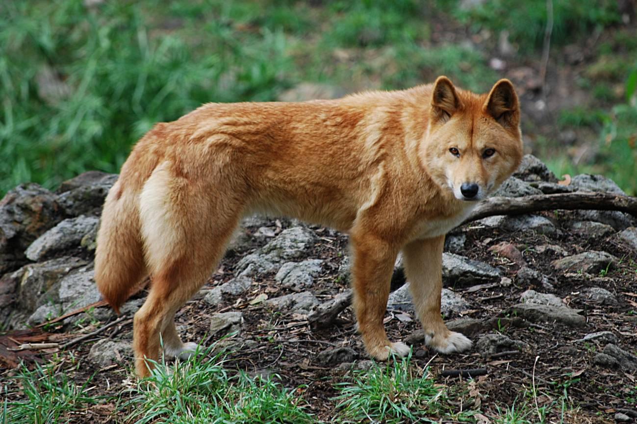 El dingo era considerado una raza antigua. Imagen: Wikipedia.