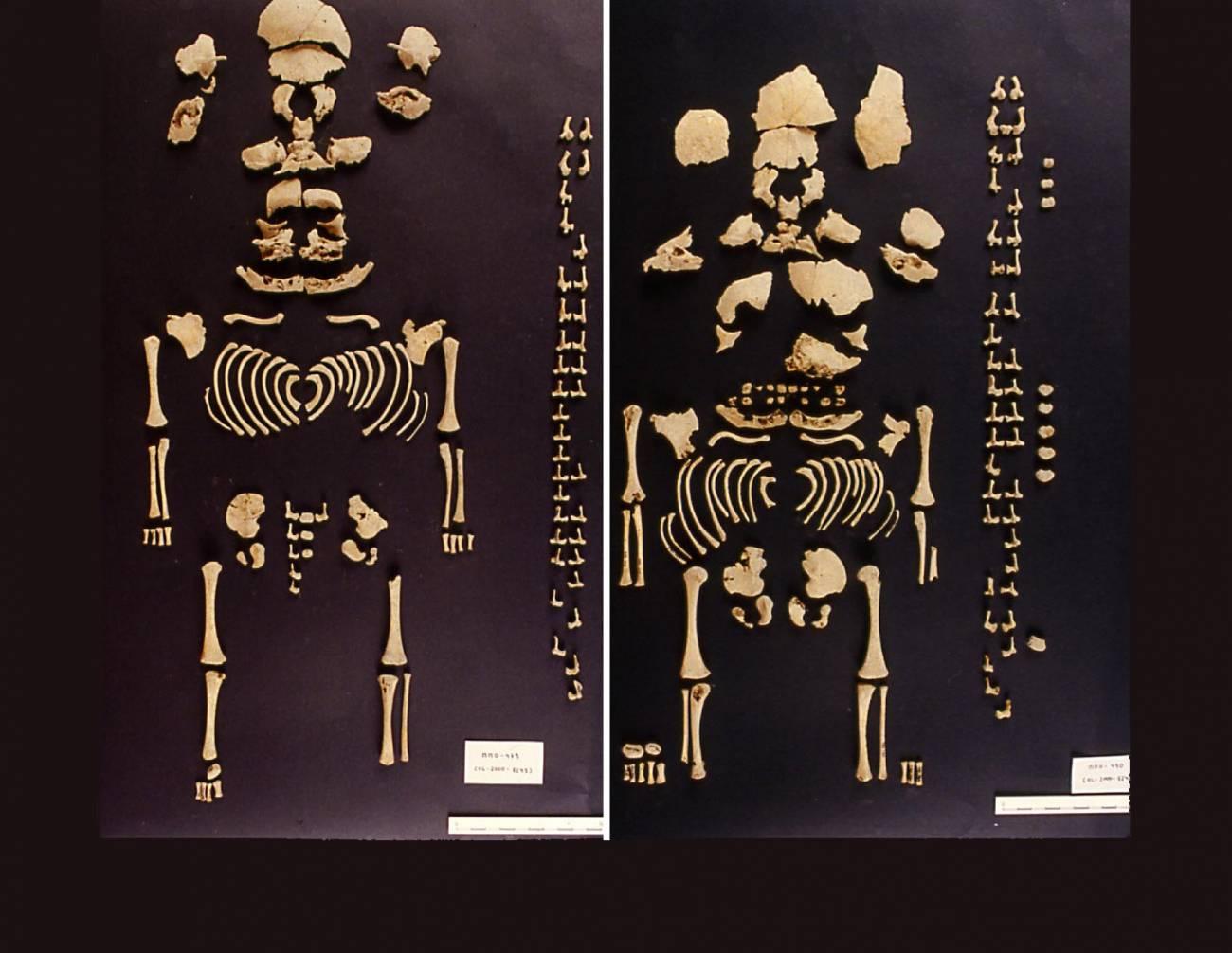 Fotografía de los restos OL-2000-8245 (derecha) y OL-2000-8246 (izquierda). Imagen: N. Molist.