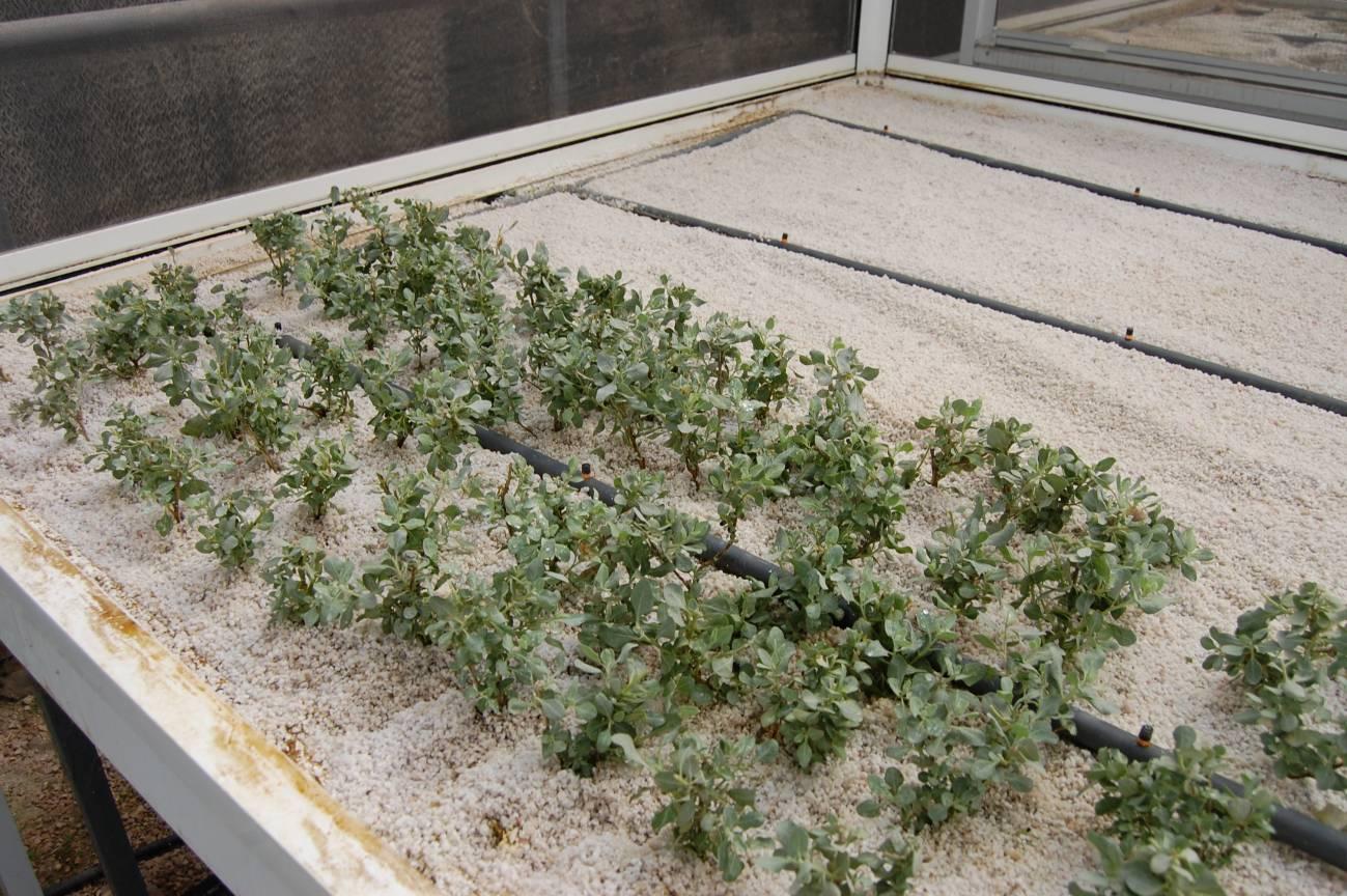 Salados blancos en fase de crecimiento en el invernadero